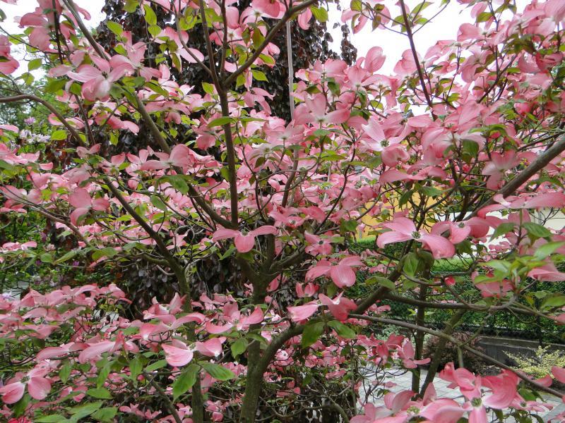 Amerikanischer Blumen Hartriegel Baumschule Kania